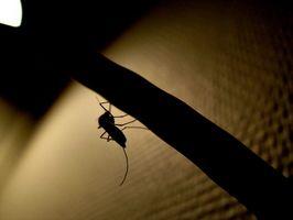 Diversi tipi di zanzare che sono marroni