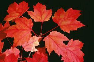 Descrizione del Foglio di una Acero Rosso