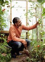Come eliminare funghi bianco sui pomodori