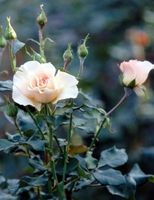 Il mio Knock Out Rose Bush Is Dying