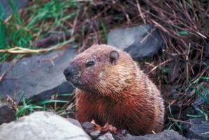 Cosa mangiare in Marmotte Gardens?