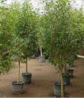 Come proteggere Ficus Alberi dal gelo