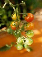 Come piantare origano e pomodori