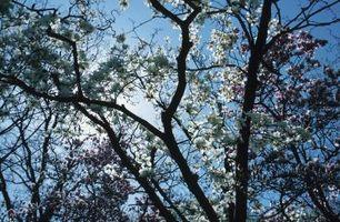 Un insetto che Bores Fori in un albero di magnolia