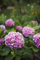 Quando rimuovere fiori da un Hydrangea