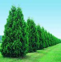 Come piantare Thuja