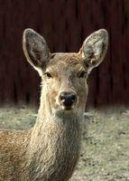 Piante e fiori che Deer Will non mangiano