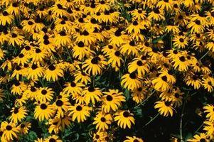 Quali sono le cause macchie marroni sulle foglie di Blackeyed Susans?