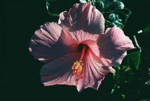 Come separare Hibiscus