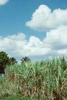 Come coltivare canna da zucchero Dentro