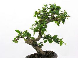 Come mantenere un albero bonsai dalla morte