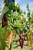 Esigenze di crescita Banana Palm