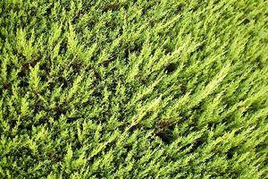 In quale periodo dell'anno Do Thuja gigante verde alberi crescono?