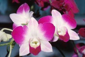 Fungo appiccicoso su Orchidee