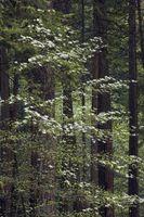 Alberi di corniolo in Florida