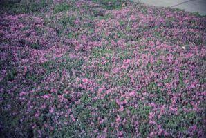 Bassa crescita arbusti fioriti