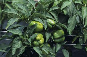 Quando piantare pepe verde Piante?