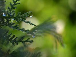 Come piantare Thuja occidentalis Smaragd