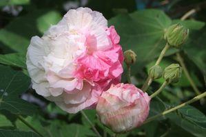 Foglie ingiallite su My Rose of Sharon