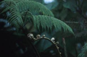 Come prendersi cura di struzzo Ferns