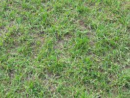 Quali sono le cause macchie marroni a St. Augustine Grass?