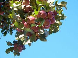 Gonfiore sulle membra degli alberi di mele