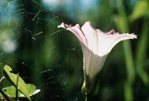 Cosa pesticidi Sei all'uso su Morning Glory?