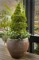 Miniature arbusti sempreverdi