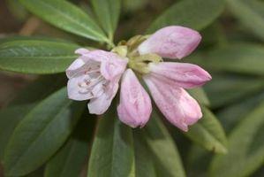 I Have arricciato foglie del Rododendro