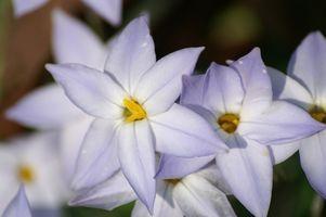 Le piante con fiori a forma di stella