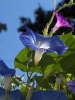 Quanto dura una gloria mattina pianta crescere?