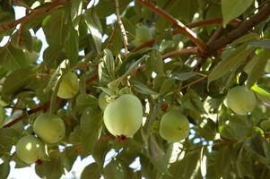 Come proteggere alberi da frutto dagli uccelli e scoiattoli