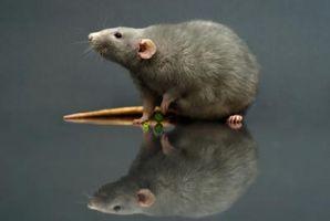 Come utilizzare in modo sicuro veleno per topi