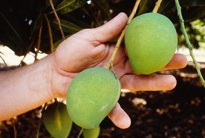 Gli alberi di mango che crescono in Australia