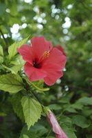 Come prendersi cura di un albero intrecciato Hibiscus
