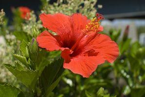 Come seminare Hibiscus