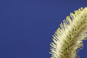 Giallo arbusti da fiore con rami pendenti