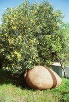 Malattie Olea europaea albero