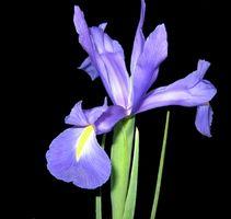 Quali sono le cause macchie marroni su Iris piante?