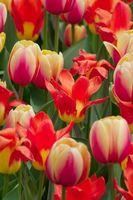Dove posso acquistare piante Bulbi online?