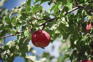 Come robusti sono alberi di mele?