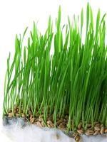 L'effetto di Acid Rain sulla germinazione dei semi e piante