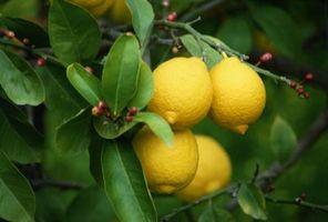 Propagazione delle piante di limone