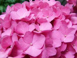 Arrossire Sposa Hydrangea Piante