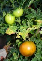 Pomodoro piante e foglie arricciate