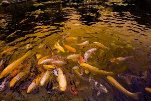 Mantenere stagno di pesci in inverno