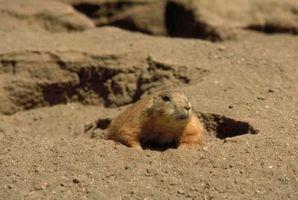 Come costruire una trappola Groundhog
