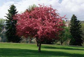 Quanta acqua è necessaria per una nuova Prairie Fire Crabapple Tree?