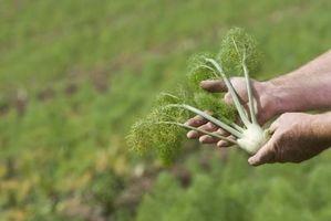 Come per la raccolta di finocchio Bulbi e semi