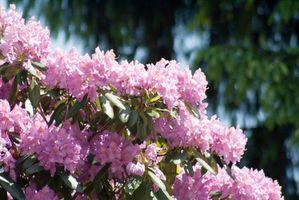Non Rododendri crescono in ambienti umidi?